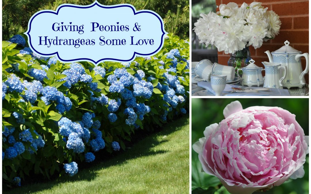 Giving Peonies and Hydrangeas Some Love